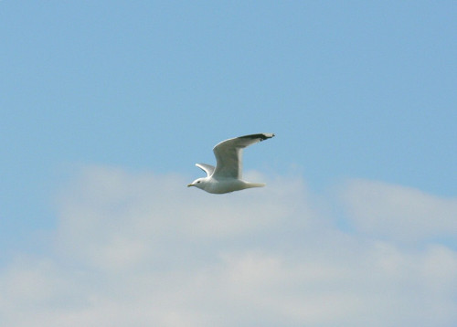 seagull-flying-3-public-domain-photos
