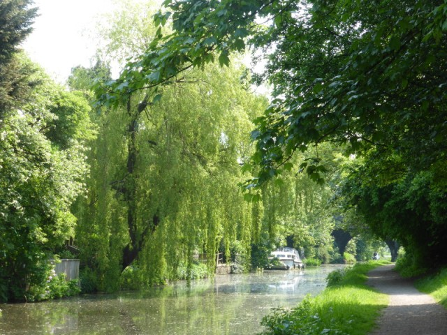 Willow tree Lancaster canal
