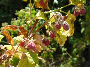 Scorched Raspberries
