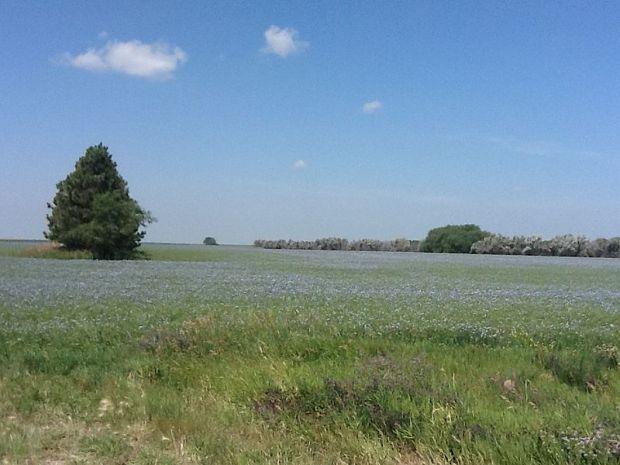 800px-Flax_field