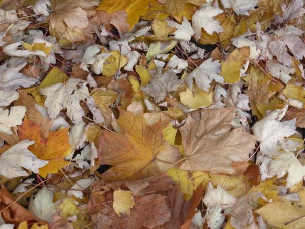 Sycamore Leaves Nov 2018