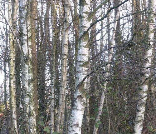 birch's armour v