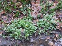 Celandine in Flower 9th Feb GCV