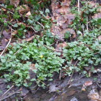 Celandine in Flower 9th Feb GCV