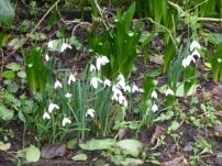 Snowdrops in full flower GCV 9th Feb