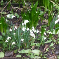 Snowdrops in full flower GCV 9th Feb